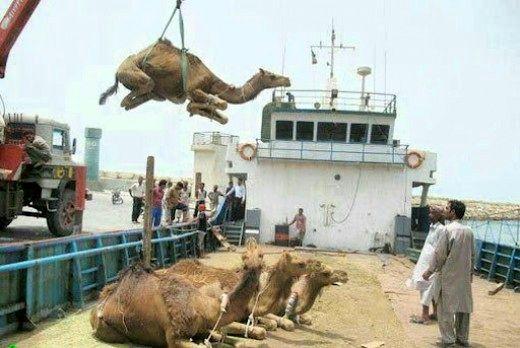 صادرات شتر آزاد شد + شرایط